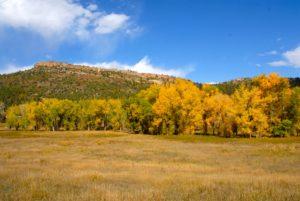 fall yellow cottonwoods